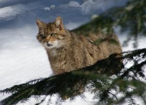 Wildkatze im Bayerischen Wald - cc by Aconcagua @ Wkimedia